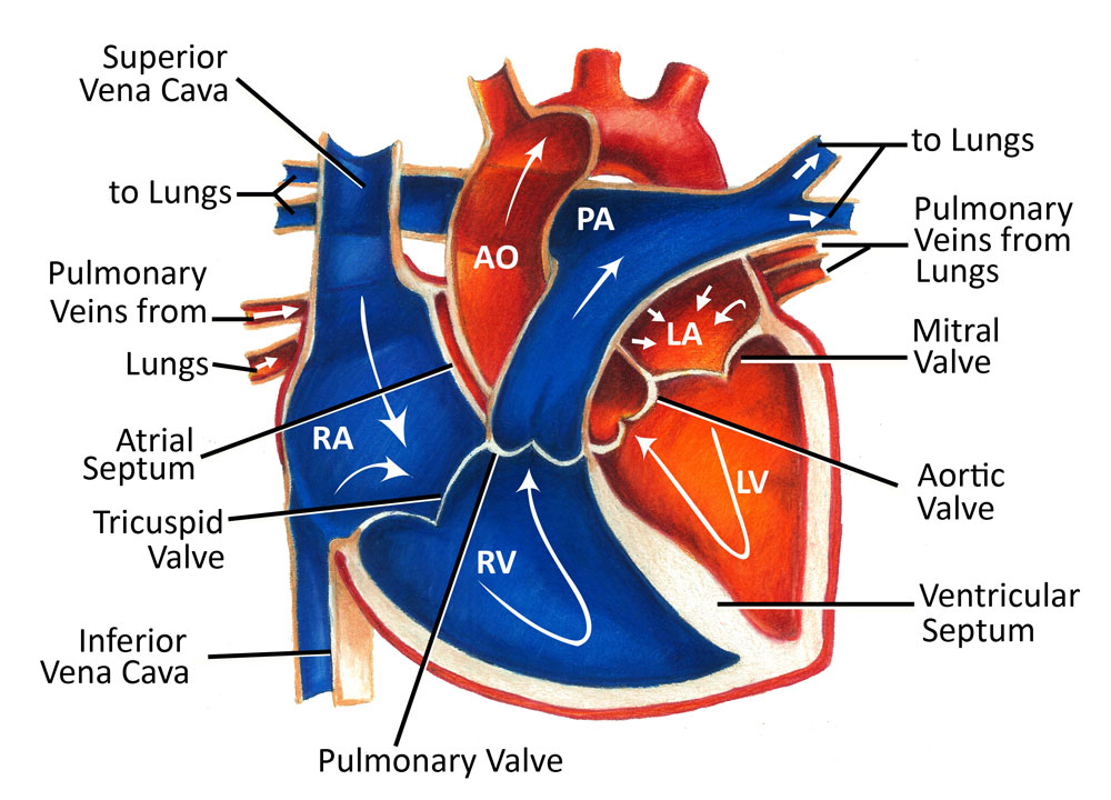diagram of blood flow through the heart – lickclick, Muscles