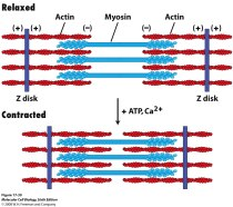 protein structure inside filaments inside muscle cells...very lifelikesource:http://www.bio.miami.edu