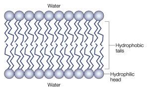 membrane_f1