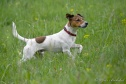 jack-russell-terrier-100309